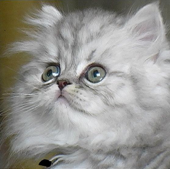 koty perskie schronisko